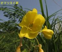 33オオマツヨイ草