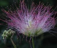40ねむの花