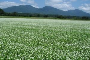 25 蕎麦の花と蒜山三座IMG_8831_10_1