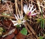 センボンヤリ(春)