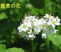 57そばの花