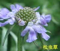 49松虫草