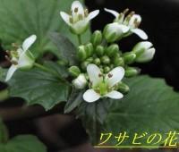 22ワサビの花