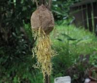 24カマキリの孵化
