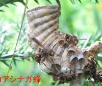 25コアシナガ蜂