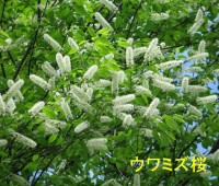 03ウワズミ桜