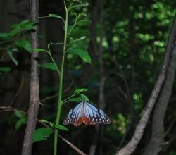 木陰のアサギマダラ