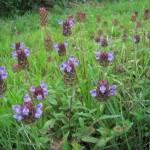 【ひるぜん日記】郷原湿地で見れる植物
