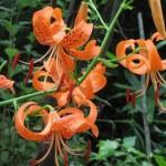 【ひるぜん日記】蒜山で咲いている花をご紹介します
