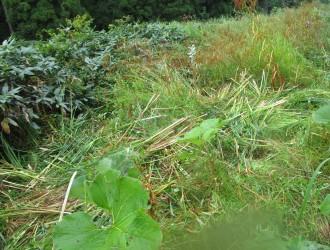 内海谷湿地:刈り取ったガマ