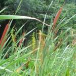 保全活動(内海谷湿地と明連湿地のガマ刈取り)