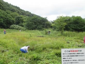 黒ボク湿地の為、肥料分が少なく草丈が低い