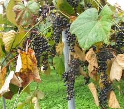 ヤマブドウ 明連のブドウ畑にて