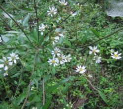 ヤマシロ菊*