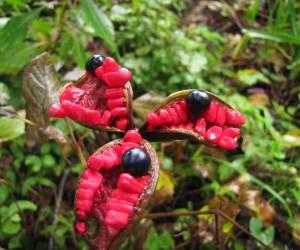 山芍薬の種