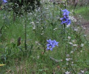 リンドウと紫センブリ