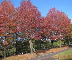 キャン往生の紅葉