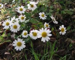 リュウノウ菊