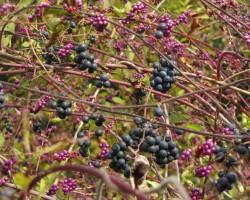 ムラサキシキブ(小紫)と三角ズルの実