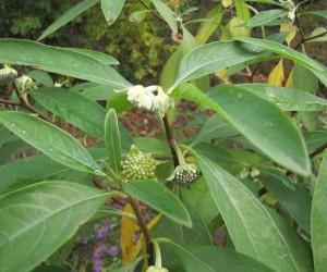 ミツマタの花芽