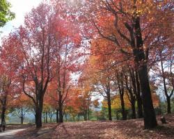 アメリカ楓(蒜山キャンプ場)