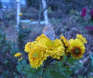 小菊とシジミチョウ