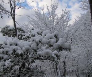 アセビに雪