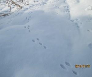 雪原はウサギの足跡だらけ