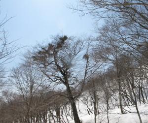 ブナの巨木にヤドリギが沢山
