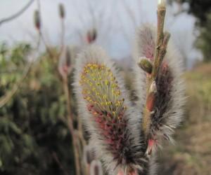 3月下旬猫柳開花