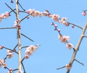 3月19日早生の梅が満開