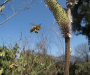 3月27日猫柳の花粉を求めてきた日本ミツバチ