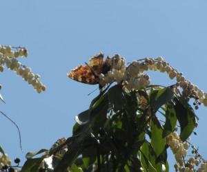 3月26日馬酔木の蜜を吸いに来たタテハ蝶