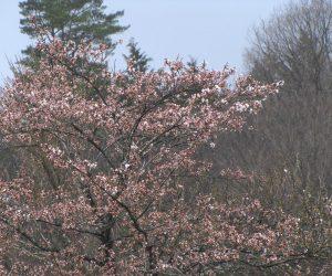 4月7日 桜咲く