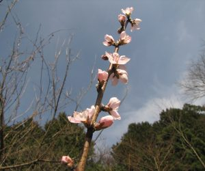 4月8日 桃の花