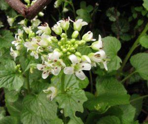 4月14日 ワサビの花