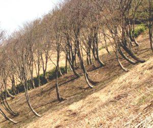 豪雪地帯の木はこんなに苦労して育ちます