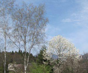 4月16日 白樺とコブシ