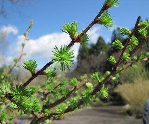 4月17日 カラマツの芽吹き