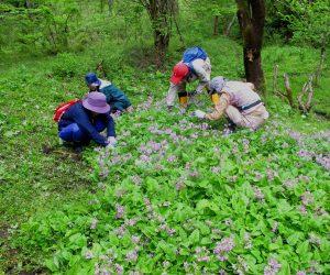 5月7日 サクラソウ保護活動(この群落が蒜山で最大。座布団10枚分びっしり)