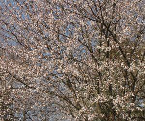 4月26日 遅咲きの山桜