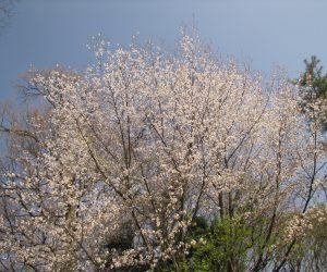 4月22日 遅咲きの山桜