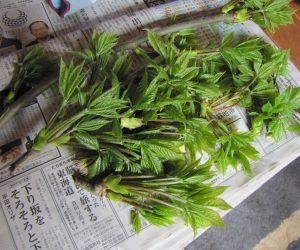 4月26日 コシアブラ(山菜の女王)