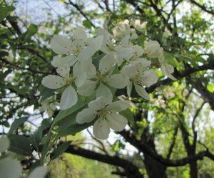5月4日 ズミ(酸っぱい実、4月上旬に花が咲く木もある)