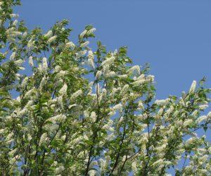 5月4日 ウワミズ桜(ブラシのように小さい花が集まっているが葉や幹は山桜と見分けがつかない)