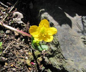 5月8日 エンコウ草(リュウキンカの変種、花径が倒れて伸びる)
