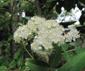 5月10日 ナナカマドの花(蒜山の様な低山では4~5mの中高木に)