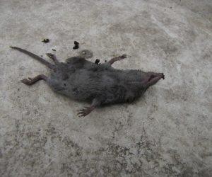 5月11日 トガリネズミの仲間(地ネズミ?)