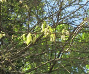 5月12日 山桑の花