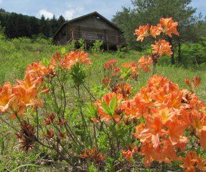 5月13日 三平山ログハウス下のレンゲツツジ 草刈をして草原を保護、レンゲツツジおよそ40株、里山保護活動も行っています